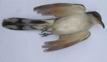 cuckoo7
